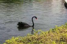 厦门大学美丽的黑天鹅!
