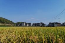 这是去福建南平松溪县大布民俗村朋友家,闲逛时拍的秋天的稻田!