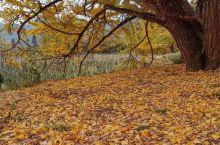 在广西桂林,除了闻名中外的山水风光,还有山村里默默生长了过百年的银杏树,粗壮的树干,伸展的树冠,遍地