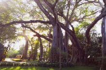 独木成林,芒令迎客榕,苍髯轧须,气根百条,落根生林,独木撑起一片天。        位于德宏州,距瑞