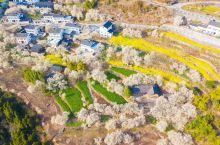 春天再次来临大地,樱花又盛开在山谷里。这是一年一次的演出,演出的意义就在于欣赏。于是花开了,人总会来