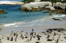 企鹅生态保护区是南非特有的品种,是企鹅种类中的小个子,体重在500克至1000克左右,胸前有黑环及黑