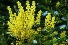 这种花叫银叶金合欢,也叫迎春花。毛茸茸的小球真心漂亮,不过想拍好也真心不易。