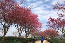 漳平永福樱花~台湾人经营的茶园,一二十年前,将樱花树栽种在茶园中,道路两旁,山坡上。几十年的今天,和