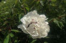 在甘肃临夏,每年5月份,六十里牡丹长廊是必去的景点之一