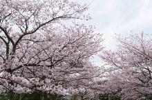 开满樱花的海洋——米子城跡  米子城跡是一个能令人感到平静又舒适的地方,虽然现在的米子城很破旧,但是