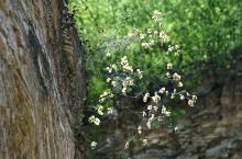 生命力礼赞!河北平山青风峡景区,这些生长在山石岩缝里的植物,生命力真的是很旺盛啊。
