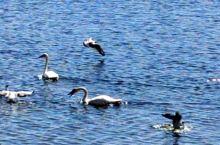 碧波荡漾,美丽的天鹅悠然自在,心旷神怡。