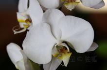 蝴蝶兰(学名:Phalaenopsis aphrodite Rchb. F.)为兰科蝴蝶兰属,原产于