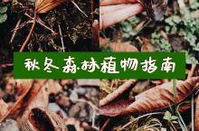 临安湍口   秋冬森林植物探索。  P2 貌似是红豆杉的种子,和卷曲的落叶,形成了植物装置。  P3