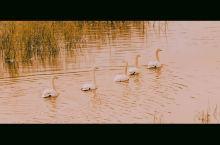 新年第一次来看天鹅,顺便听天鹅唱歌。