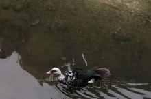 三峡里的野鸭