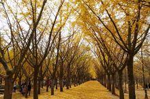 """邳州银杏时光隧道,""""黄金雨""""美轮美奂,层林尽染遍地落金!最美是在深秋时节,金黄的叶片挂满枝头,漫步在"""