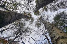长白山下白桦林