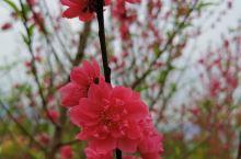 桃之夭夭,灼灼其华 桃花依旧笑春风