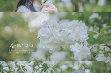 4月杭州,绣球花开  三月的朋友圈是满屏的樱花和油菜花,那么四月便是绣球花的天下了!  绣球花的花语