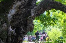 彰显生命活力的老树         还是在修建石(家庄)武(汉入)高铁时,多次游历这一河南省新县周河