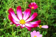 每年的十一~十二月,關渡平原上休耕的農田會種上波斯菊,色彩繽紛燦爛,讓冬天的土地上增添一抹生氣勃勃的