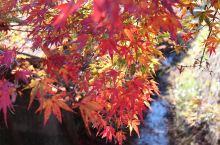 漫天红,红满天,秋天的樱花与红叶