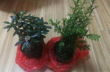红豆杉,瑞香