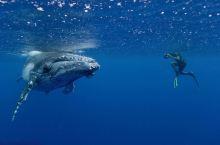 #全球追鲸地图#  汤加 Tonga  可观鲸类:座头鲸    最佳观赏期:每年4-9月  南太平洋