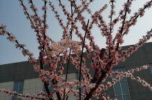 阳春三月,千年古县鄄城县凤凰镇。