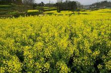 美丽的田园风光,盛开的油菜花好似一幅画卷,看着舒心、养眼!