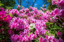 春天百花齐放,真是美不胜收。特别是江南的春天,赏完了梅花、桃花、油菜花、樱花,又迎来了美丽的杜鹃花开