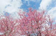 哇!去看樱花,真的是超级美呢!!