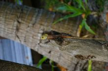 岛上的自然环境不错,经常能够看到小蜥蜴,很可爱。