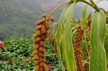 太行深处,路边的野山楂树,野枣树,尽情的采摘,还有金黄的谷穗,秋天丰收的季节