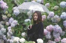 釜山太宗寺   偶遇比京都还要惊艳的绣球花   釜山原本是个很安静的城市(人口密度小),下着大雨的太