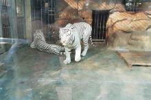 霸气外露~沉稳的步伐~一副爱谁谁的模样 青岛动物园