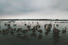 没想到平淡的明珠湖公园还有一群大雁,给了点小惊喜。