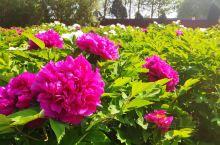"""汤阴羑里城内的牡丹花。""""唯有牡丹真国色,花开时节动京城。""""河南洛阳牡丹天下闻名。参观汤阴羑里城,遇上"""