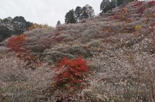 四季樱春秋两季开花秋花色略淡。小原四季樱公园是日本最大的四季樱种植地,深秋满山的樱花怒放与红叶争艳,