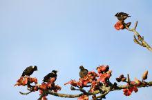 木棉花开春意浓。大盈江国家级风景名胜区的木棉花高调宣示春天的到来。成群的八哥欢快地嬉戏枝头,构成一幅