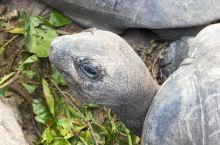 #象龟#陆生龟类中最大的物种,也是世界上最长寿的陆龟,平均寿命200年以上,能长到1.5米左右,成年