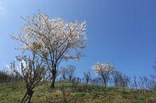 又快到樱花盛开的季节了吧,大岚山的樱花很漂亮,配上山水茶树,更是美美哒。