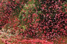 哥斯达黎加的花瓣雨,这么浪漫,带上心爱的人去一次吧~