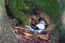 塞舌尔群岛的伯德岛是著名的鸟岛,在这里生活着数以百计的珍稀鸟类和野生动物。在这里你可以看到仙女鸥,白