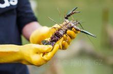 阳春寻虾记  原生态农场出品的澳洲小龙虾,本地走地鸡,农家土猪肉,一听到就是健康有益的绿色产业,造福
