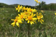 内蒙古赤峰市克什克腾旗乌兰布统大草原旅游季节来临,草原最美的时候开始了,那些绚丽多彩鲜花可以随意戴在