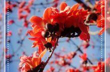 火红的木棉花。