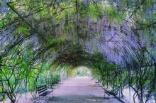 阿德莱德植物园,每年10月中旬,就有好多新人,游客在紫藤廊拍照,也有情侣坐在紫藤廊中,享受浪漫的爱情