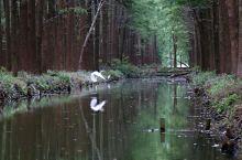 兴化.李中水上森林公园2 水上森林中的白鹭时而水边歇息,时而翻飞,真的是太美了。