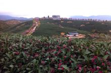 一層層碧綠的茶園搭配著着粉紅的櫻花,猶如水粉畫。福建省漳平市永福鎮的台品櫻花園。周邊地區山高林密,皆