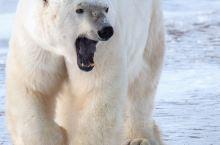 加拿大丘吉尔,唯一一个敢承诺100%看见北极熊的地区! 下面我们就来聊一聊,为什么【在北极丘吉尔看北