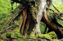 童话世界 原生森林—白谷云水峡  白谷云水峡前奏: 这几天和朋友在日本游玩的时候,意外发现了一座世外