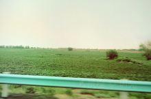 石河子的棉花绿绿的